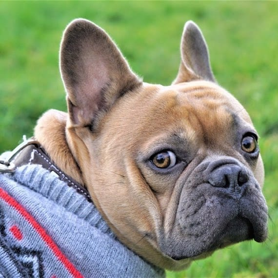 categorie-hondenkleding-franse-bulldog